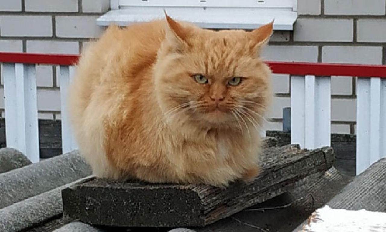 İnternet fenomeni 'Somurtkan Kedi'nin 'kayıp kuzeni' Rusya'da bulundu