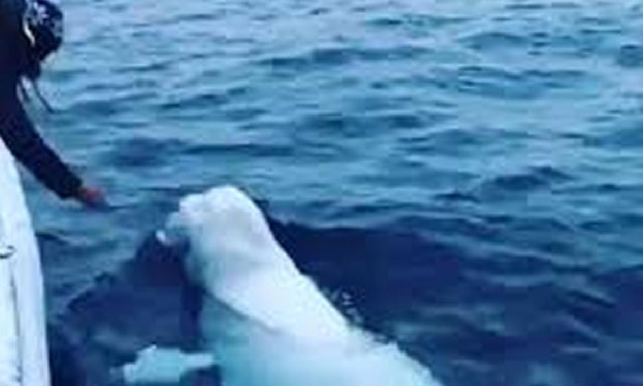 Top rakkas ak balinayı 'Rus ajanı' sandılar