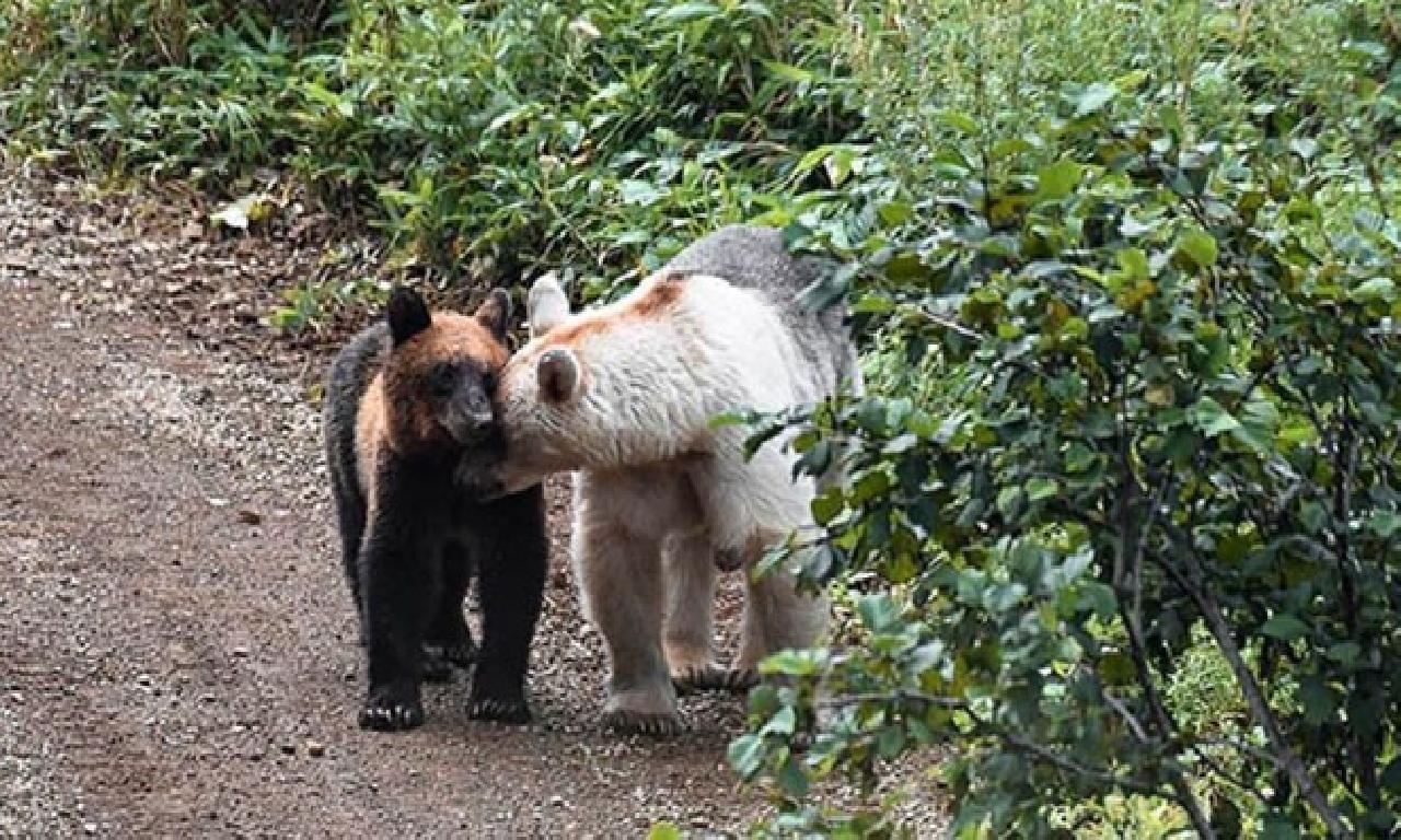 Rusya'nın Kunaşir adasındaki açılmamış ayılar beyazlamaya başladı