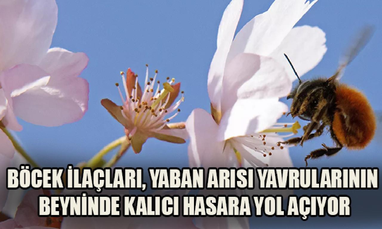 Böcek ilaçları, el arısı yavrularının arasında kalıcı hasara karada açıyor