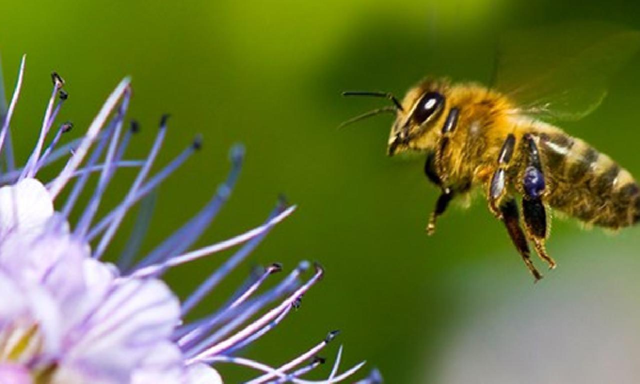 Yarısı insan yarısı dişi tek arı keşfedildi