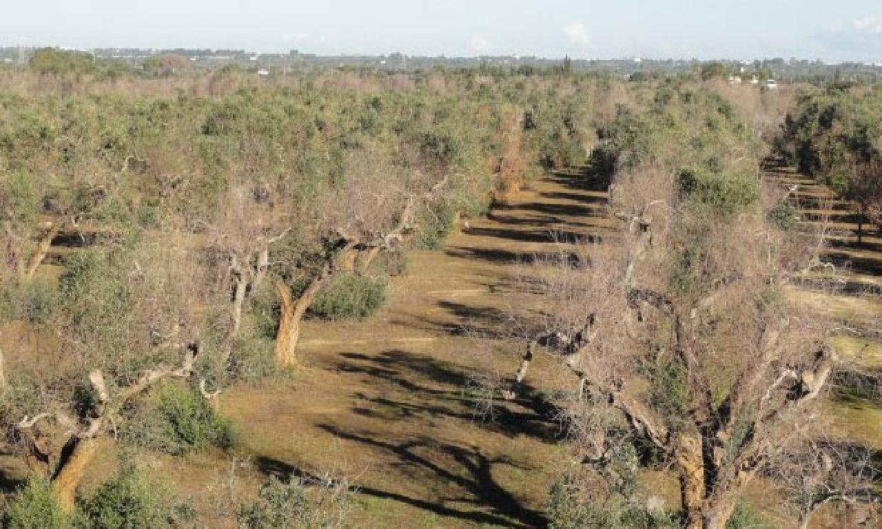 Milyonlarca ağacı öldüren salgın koronavirüs imişçesine yayılıyor