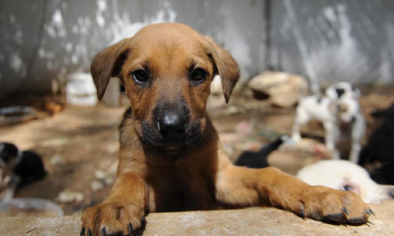 Köpekler dahi buluğ krizleri yaşıyor
