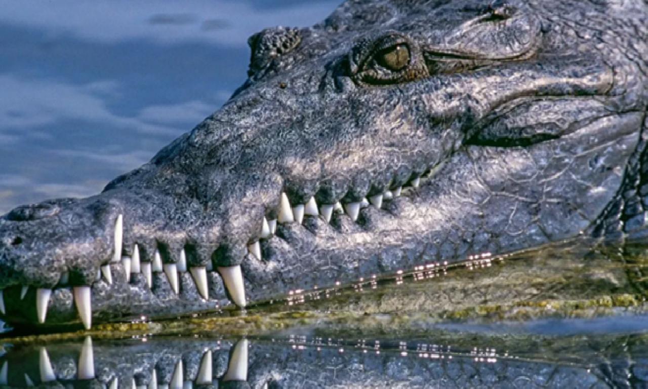340 kiloluk timsahın midesinde binlerce yıllık asar bulundu