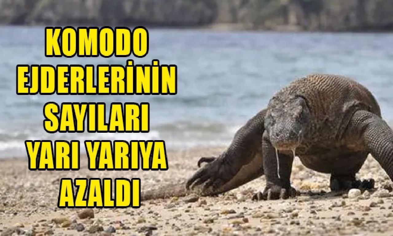 Komodo ejderlerinin sayıları yarı yarıya azaldı